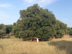 800 years old Olive tree