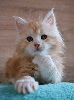 50 Cute Maine Coon Kittens That Are Actually Giants Waiting To Grow Up - Cute kittens Cute Cats And Kittens, Baby Cats, Kittens Cutest, Orange Tabby Kittens, Pretty Cats, Beautiful Cats, Animals Beautiful, Cute Baby Animals, Funny Animals