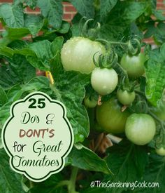 25 Dos and Don'ts for Growing Great tomatoes from thegardeningcook.com/tips-growing-great-tomatoes