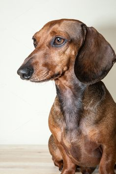 Red dachshund dog by on Creative Market Dachshund Facts, Red Dachshund, Dachshund Funny, Dachshund Puppies, Dapple Dachshund, Chihuahua Dogs, Perros Bull Terrier, Big Dog Toys, Photo Animaliere