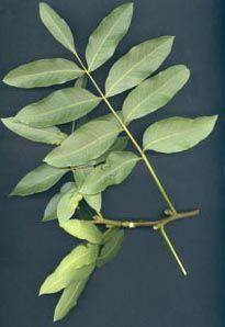 pistacia terebinthus.
