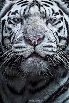 White Tigress - David Guéret