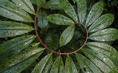 Nature doing Fibonacci experiments again.