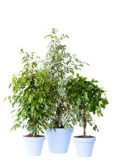 Zimmerpflanze des Monats im Garten-Center röttger Ficus benjamina