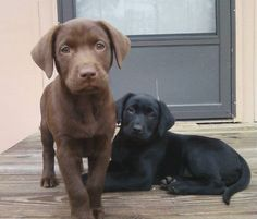 Chocolate and Black Lab Puppies... LOVE LABS!