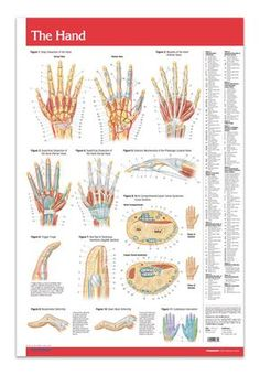 """Hand / Joints (Articulations) (Poster Size) Laminated 24"""" x 36"""" - On one side, you'll find vividly colored diagrams of the hand, including the different views, various levels (dissections), muscles, nail bed & tendinous insertions. On the other side, each joint in the body displayed."""