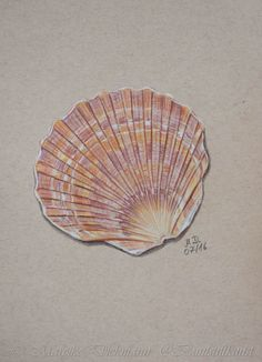 Sea shell. Drawing in colored pencil on toned tan paper. Muschel, Zeichnung mit Buntstiften