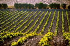 Sisini Estate - New vineyards