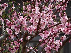 Hanami   Powell Gardens' Blog