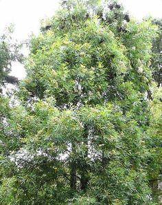 Lyonothamnus Floribundus Ssp Asplenifolius This California Native Plant Is A Fast Growing 50 Foot Tree