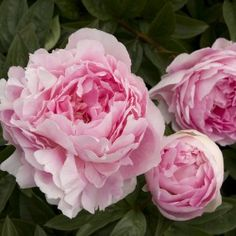 Lady Orchid Peony