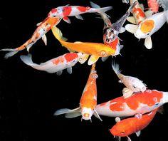 koi fish-- I love these fish, i can't wait to make a koi pond!