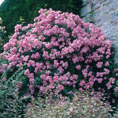 Macrantha Raubritter Roses.