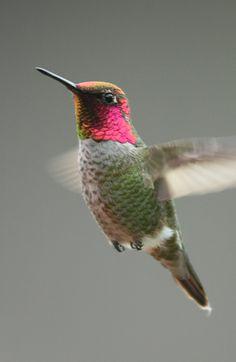 Birds of New Mexico - Ruby throated hummingbird