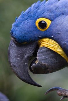 "flowerling: "" Hyacinth Macaw | Mark Dumont """