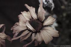 Petals ~ © 2013 Sabrina DeNile wilting, flower, petals, upclose, desaturated, monochromatic, artistic, wilted