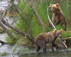 #132 and one of her cubs in July, 2016. Katmai National Park, Alaska
