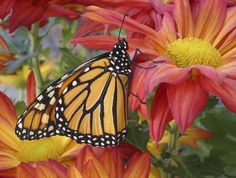 Monarch butterfly nectaring on red and yellow flower in butterfly garden designed by Brent Knoll of Knoll Landscape Design