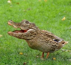 This adds a whole new meaning to don't feed the ducks. Why? Cuz this one will eat your food, your hand, your kids, you and the little dog you have with you!