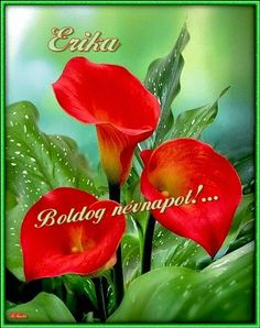 """✯ Red Calla Lilies - """"The Calla Lillies are in bloom again. Exotic Flowers, Amazing Flowers, Red Flowers, Beautiful Flowers, Beautiful Gorgeous, Lilies Flowers, Red Tulips, House Beautiful, Calla Lillies"""