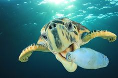 World Ocean Day More than 1 million birds and 100 thousand sea creatures dying every year due to marine pollution Ocean Pollution Facts, Effects Of Water Pollution, Plastic Pollution, Save Our Oceans, Oceans Of The World, 4 Oceans, Plastic Problems, Fauna Marina, Marine Debris