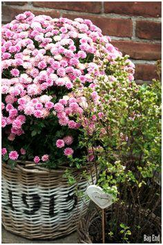 Pink chrysanthemum / Pinkki krysanteemi
