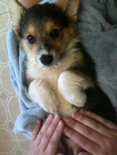 Fluffy Corgi after a bath