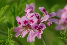 Rose geranium-indigenous to South Africa...a sweet flora essence