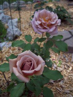 'Koko Loco (Floribunda, Bedard, 2010)' rose,