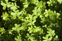 Oxalis looks a bit like a miniature clover plant, but it bears tiny yellow flowers. It is occasionally grown as a groundcover but to most gardeners it is a tenacious and annoying weed. Learn more about its control in this article. Common Garden Weeds, Weeds In Lawn, Container Gardening, Gardening Tips, Clover Plant, Organic Weed Control, Wood Sorrel, Short Plants, Yard Care