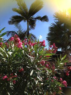 Oleander Plant.