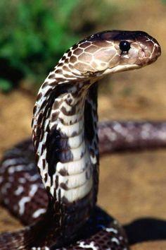 Cobra :) Beautiful