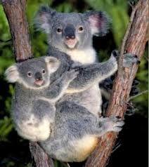 Resultado de imagen para koalas animales