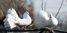 high resolution wallpapers widescreen pigeon, 2138x1078 (440 kB)