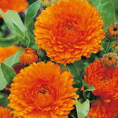 """Calendula Orange King - Long flowering, makes a lovely cut flower!  Enormous double, bright orange flowers. Easy to grow - ideal for beginners. The brightly coloured flowers are cheerful in borders whatever the weather. HA - Hardy annual. Height 45cm (18"""")."""