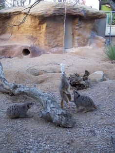 meerkats with hanging feed - ABWAK Association of British and Irish Wild Animal Keepers
