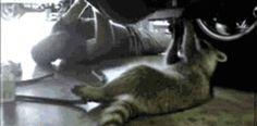 16 Secret Agent Raccoons