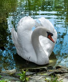 Swan by samuelson1 on 500px