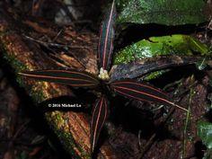 Vrydagzynea tristriata (jewel orchid) from limestone forest near my home: