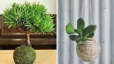 Kokedamas – Mis Jardines Plantar, Cactus Plants, Gardening, Youtube, Style, Garden, Garden Water Fountains, Hanging Gardens, Bright Gel Nails