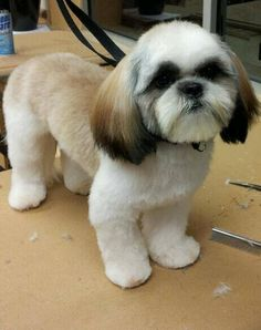 Choosing a grooming style for your Shih Tzu? Take a look at these cute Shih Tzu hair styles for your inspiration. Chien Shih Tzu, Perro Shih Tzu, Shih Tzu Hund, Shih Tzu Puppy, Shih Tzus, Dog Grooming Styles, Pet Grooming, Corte Shitzu, Black Shih Tzu