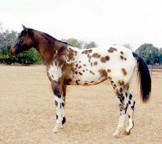 All The Pretty Horses, Beautiful Horses, Animals Beautiful, Horse Pictures, Animal Pictures, Wags And Whiskers, Appaloosa Horses, Majestic Animals, Belleza Natural