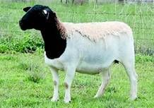 Getting Started with Dorper Sheep | Farmstyle Australia