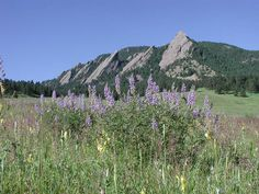 Lupines in Chautauqua Meadow, beneath the (five) Flatirons, near Boulder, Colorado