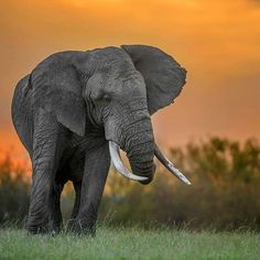 Mighty Tusker in the Golden Light ! Elephant shot in Golden Hour of Sunset at Masai Mara. Elephant Head, Elephant Love, Elephant Gifts, All About Elephants, Save The Elephants, Animal 2, Mundo Animal, Beautiful Creatures, Animals Beautiful