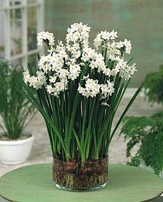 Paperwhite ziva 1617 paperwhites flower bulbs index gift paperwhites ziva mightylinksfo