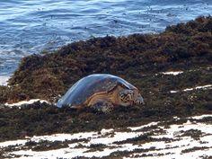 Seychellit. Cousin Island. Merikilpikonnat, erityisesti karettikilpikonnat nousevat Cousin Islandin rannalle munimaan.