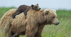 15+ Un-Bear-Ably Cute Momma Bears Teaching Their Teddy Bears How To Bear | Bored…