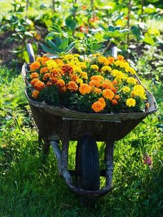 Wheelbarrow with Marigolds