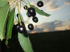 cherries Forest Fruits, Cherry, Food, Essen, Meals, Prunus, Yemek, Eten